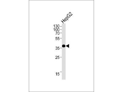 OR1L3 Antibody