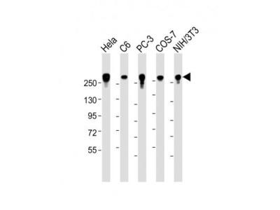 Mouse Monoclonal Filamin A Antibody