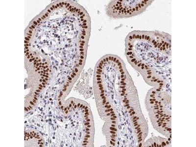 PLK3 Antibody