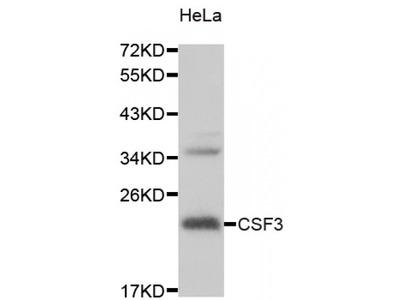 Anti-CSF3 antibody (STJ27939)