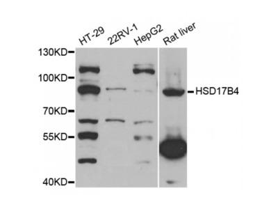 Anti-HSD17B4 antibody