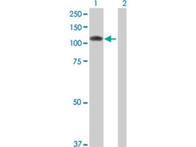 Sulfatase 1 Antibody