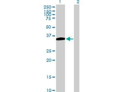 B4GALT7 Antibody