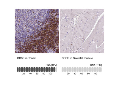 Anti-CD3E Antibody