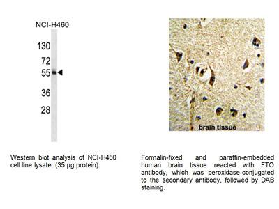 FTO Antibody (NT)
