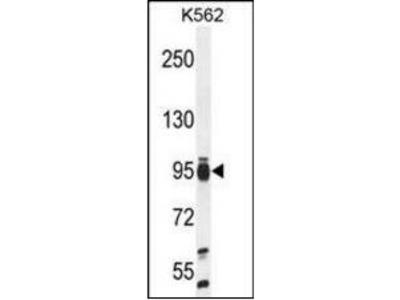 TAF4B antibody