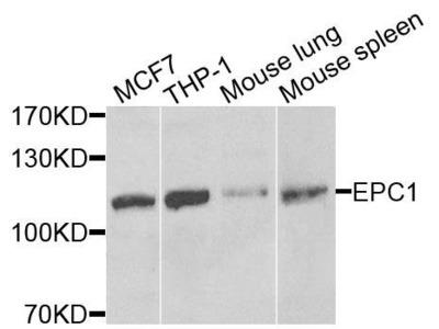 EPC1 antibody