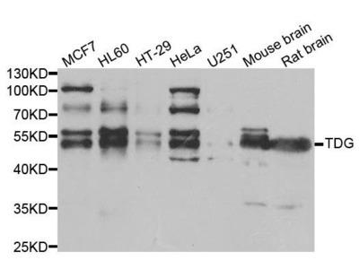 TDG antibody