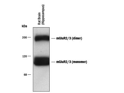 mGluR2 / 3 Antibody