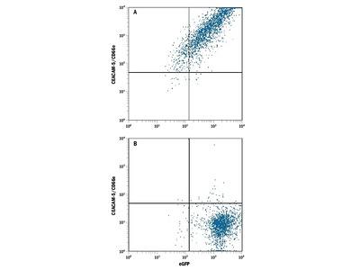 CEACAM-5 / CD66e Antibody