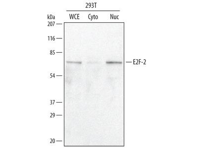 E2F-2 Antibody