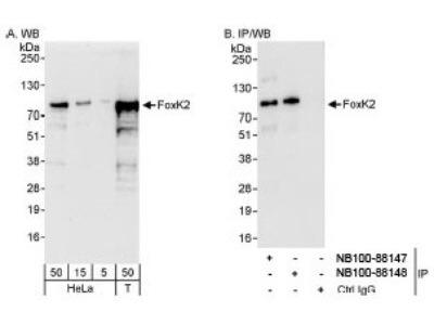 ILF1 Antibody