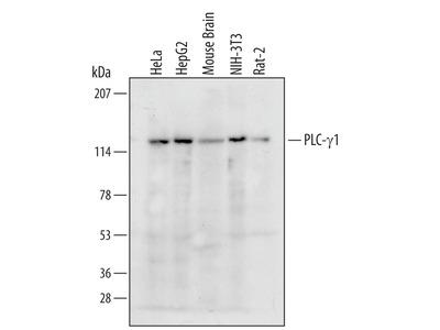 Human / Mouse / Rat PLC-gamma 1 Antibody