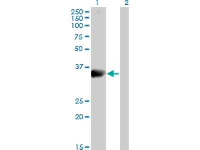 DARC Antibody