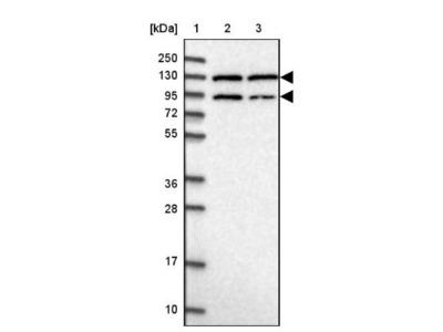 Peptidylglycine alpha-Amidating Monooxygenase / PAM Antibody