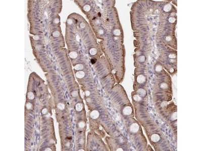 PRSS33 Antibody