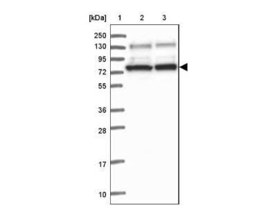 SAPS3 Antibody