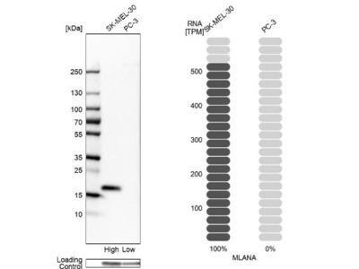 Melan-A /MART-1 Antibody