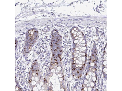 NALP8 Antibody