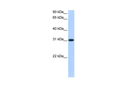 TNRC18 antibody - N-terminal region (ARP51744_P050)