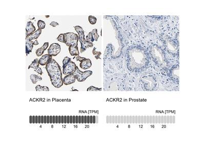 Anti-ACKR2 Antibody