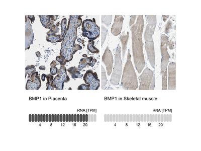Anti-BMP1 Antibody