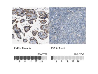 Anti-PVR Antibody