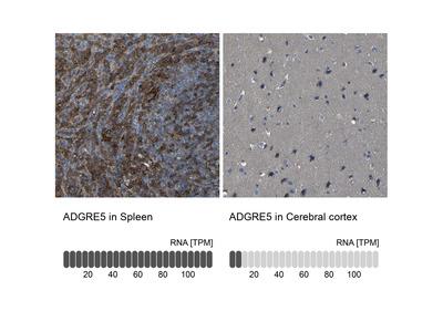 Anti-ADGRE5 Antibody