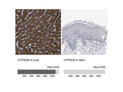 Anti-CYP2C8 Antibody