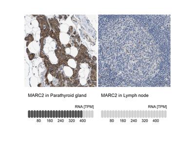 Anti-MARC2 Antibody