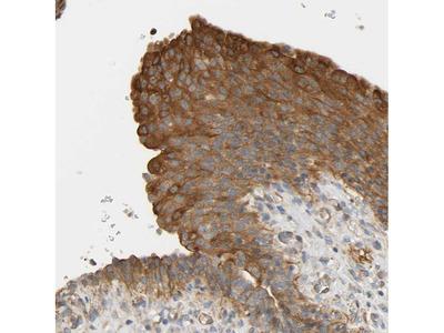 Anti-CEP57 Antibody