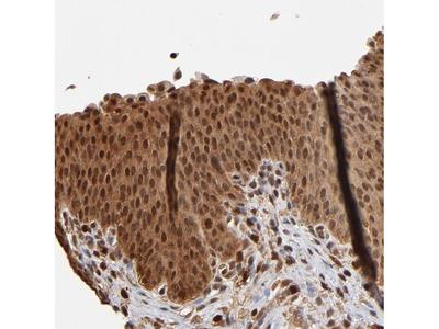 Anti-CASP1 Antibody