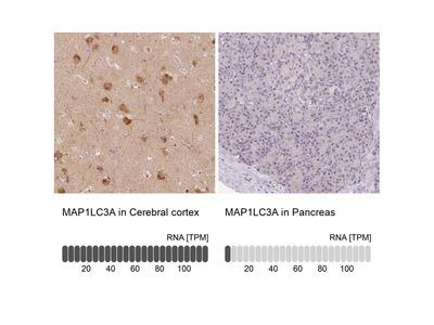 Anti-MAP1LC3A Antibody