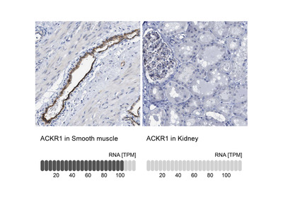 Anti-ACKR1 Antibody