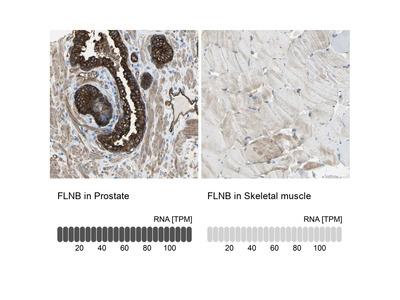 Anti-FLNB Antibody