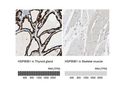 Anti-HSP90B1 Antibody