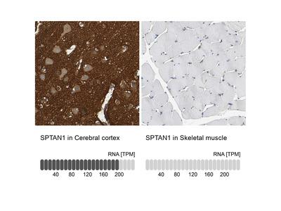 Anti-SPTAN1 Antibody