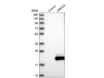 Anti-UBE2L6 Antibody