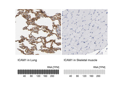 Anti-ICAM1 Antibody