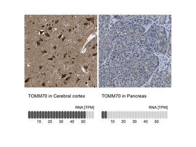 Anti-TOMM70 Antibody