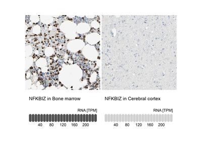Anti-NFKBIZ Antibody