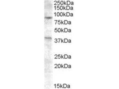 Exonuclease 1 Antibody