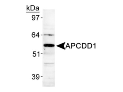 Rabbit Polyclonal APCDD1 Antibody