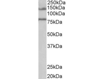 Goat Polyclonal EPB41L5 Antibody