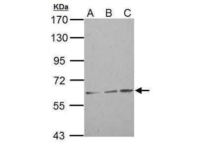 Anti-ABCG2 antibody