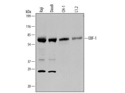 EBF-1 Antibody