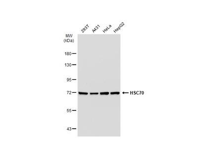 Anti-HSC70 antibody