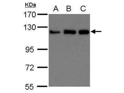 Anti-KIF5B antibody [C3], C-term
