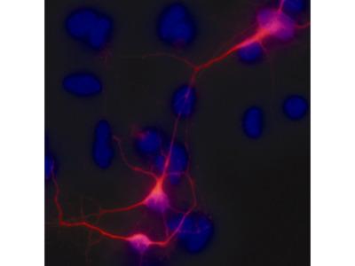 Neuron-specific beta-III Tubulin NorthernLights™ NL557-conjugated Antibody