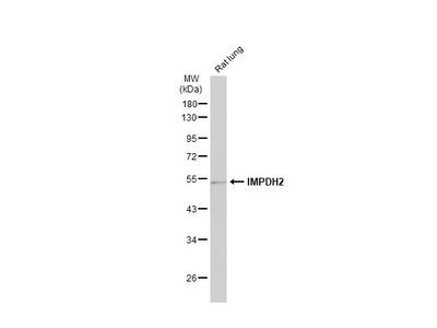 Anti-IMPDH2 antibody [N2C1], Internal